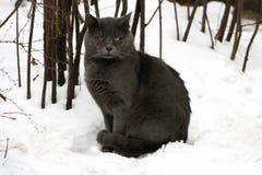 Gatto grasso grigio fotografia stock libera da diritti