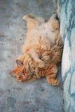 Gatto grasso rosso nella via Fotografia Stock