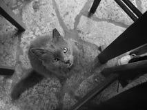 Gatto greco Fotografie Stock Libere da Diritti