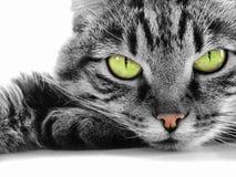 Gatto Green-eyed Fotografia Stock Libera da Diritti