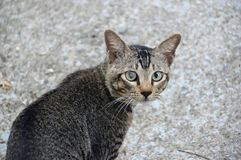 Gatto grigio Fotografie Stock