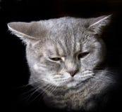 Gatto grigio Immagini Stock