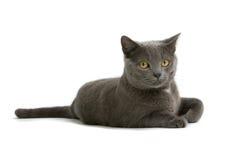 Gatto grigio Immagine Stock