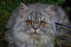 Gatto grigio Immagini Stock Libere da Diritti