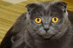 Gatto grigio Fotografie Stock Libere da Diritti