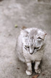 Gatto grigio Fotografia Stock Libera da Diritti