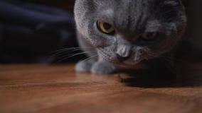 Gatto grigio britannico che mangia alimentazione video d archivio