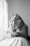 Gatto grigio britannico che si trova nella finestra Fotografie Stock Libere da Diritti