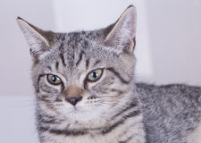 Gatto grigio che guarda forword immagini stock libere da diritti