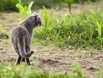 Gatto grigio che osserva nella distanza fotografie stock