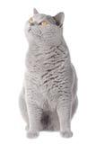 Gatto grigio che osserva in su Fotografie Stock Libere da Diritti