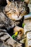 Gatto grigio che posa sulla macchina fotografica fotografie stock libere da diritti