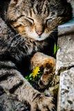 Gatto grigio che posa sulla macchina fotografica immagini stock libere da diritti