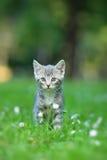 Gatto grigio che propone all'esterno Fotografie Stock Libere da Diritti
