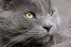 Gatto grigio che sembra serio - ritratto immagini stock libere da diritti