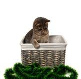 Gatto grigio che si siede nel canestro di vimini e che guarda dall'alto in basso il Natale Fotografia Stock Libera da Diritti