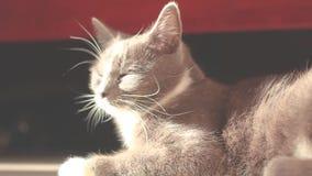 Gatto grigio che si trova sul pavimento al sole stock footage