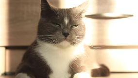 Gatto grigio che si trova sul pavimento al sole video d archivio