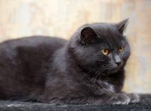 Gatto grigio con gli occhi arancio Fotografie Stock