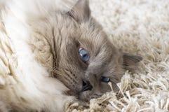 Gatto grigio con gli occhi azzurri Fotografie Stock Libere da Diritti