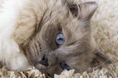 Gatto grigio con gli occhi azzurri Immagine Stock Libera da Diritti