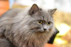 Gatto grigio con gli occhi gialli Immagini Stock Libere da Diritti