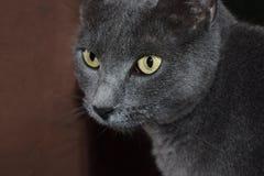 Gatto grigio con gli occhi gialli Fotografia Stock Libera da Diritti