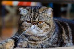 Gatto grigio con gli occhi gialli Fotografia Stock