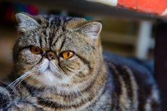 Gatto grigio con gli occhi gialli Fotografie Stock Libere da Diritti