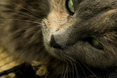Gatto grigio con gli occhi verdi Immagine Stock