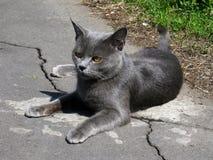 Gatto grigio con i bei occhi Immagine Stock