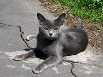 Gatto grigio con i bei occhi Immagini Stock Libere da Diritti