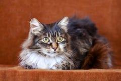 Gatto grigio con i grandi occhi Fotografia Stock