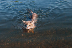 Gatto grigio dei baffi che galleggia sul fiume Fotografia Stock