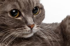 Gatto grigio del primo piano con i grandi occhi rotondi Fotografia Stock Libera da Diritti