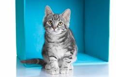 Gatto grigio del soriano in cubo blu immagine stock