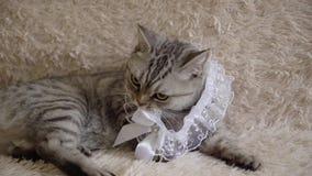 Gatto grigio della Gran-Bretagna o scozzese con la giarrettiera della sposa video d archivio