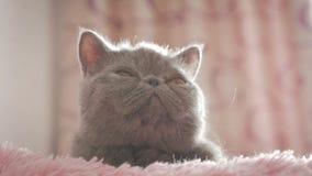 Gatto grigio dello shorthair su una fine grigia su archivi video