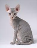 Gatto grigio di Peterbald, Shorthair orientale Fotografia Stock