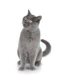 Gatto grigio di seduta Fotografie Stock