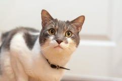 Gatto grigio e bianco fotografia stock