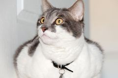 Gatto grigio e bianco fotografia stock libera da diritti