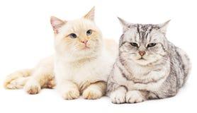 Gatto grigio e bianco Immagine Stock
