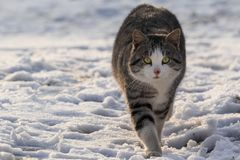 Gatto grigio e bianco con le bande che cammina sulla neve immagini stock libere da diritti