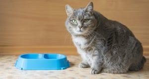 Gatto grigio e una ciotola blu Fotografia Stock