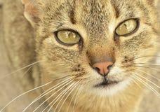 gatto Grigio-eyed Fotografia Stock Libera da Diritti