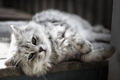 Gatto grigio, fotografia in bianco e nero, ritratto Fotografia Stock
