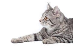 Gatto grigio isolato Immagini Stock Libere da Diritti