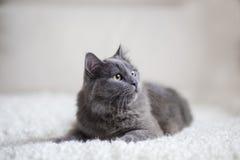 Gatto grigio lanuginoso che si siede sullo strato Immagine Stock Libera da Diritti