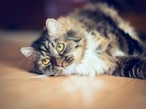 Gatto grigio lanuginoso che si trova sul pavimento di legno nell'appartamento fotografie stock